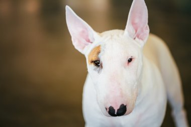 Close Up Pet White Bullterrier Dog