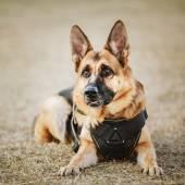 Fotografie Deutscher Schäferhund Hund hautnah