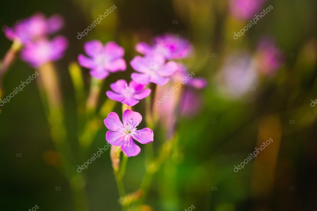 Fleur Mauve Sauvage Foret Nature Ete Russe Photographie Ryhor