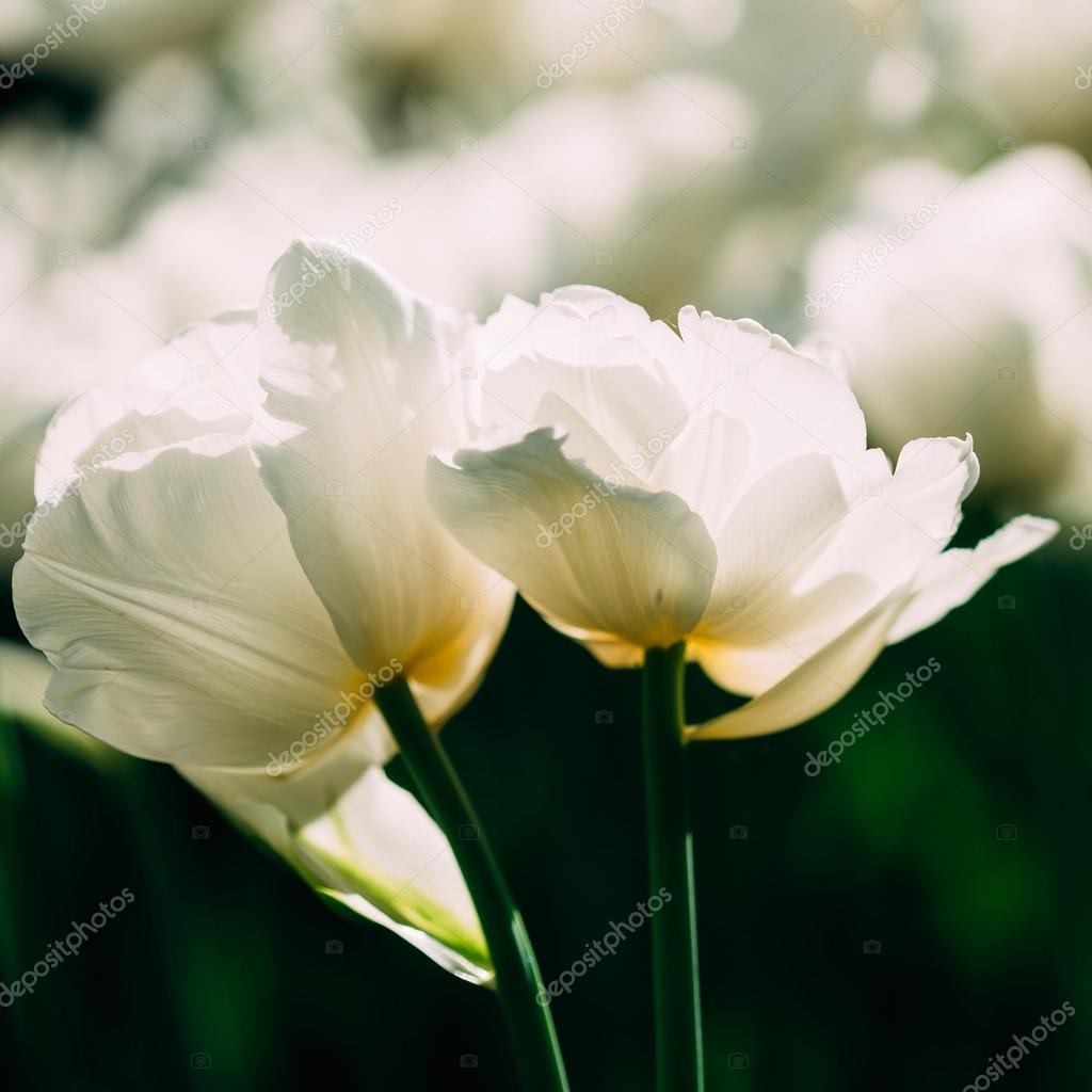 White Double Late Tulips Flowers In Spring Garden Flower Bed Stock
