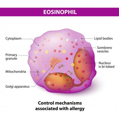 eosinophil. Characteristics and structure of lymphocy