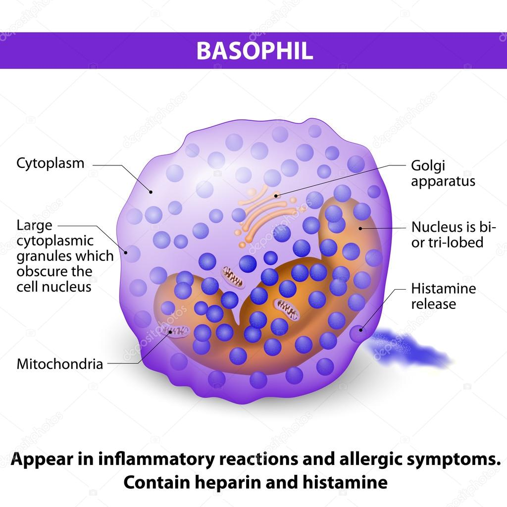 depositphotos_103433242 stock illustration basophil characteristics and structure