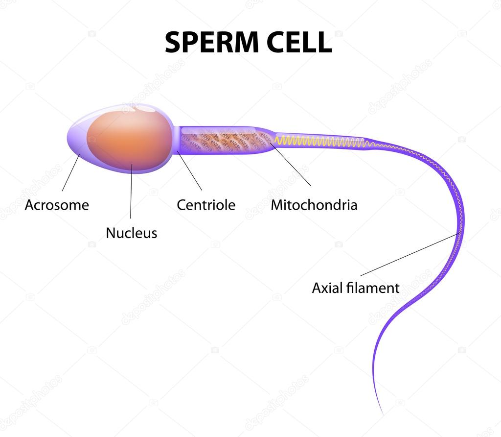 Structure of a sperm cell — Stock Vector © edesignua #52306313