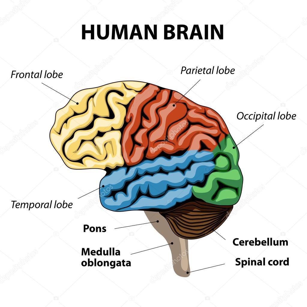 Anatomie des menschlichen Gehirns — Stockvektor © edesignua #52961913