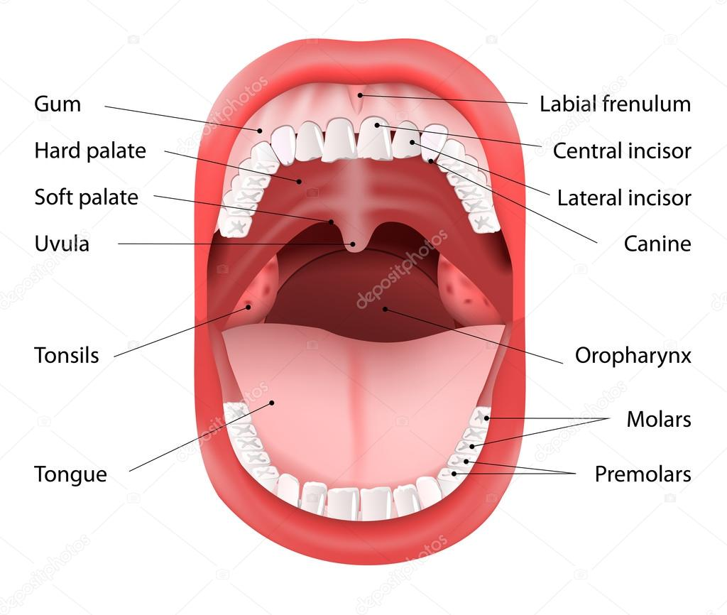 Mouth Anatomy Romeondinez