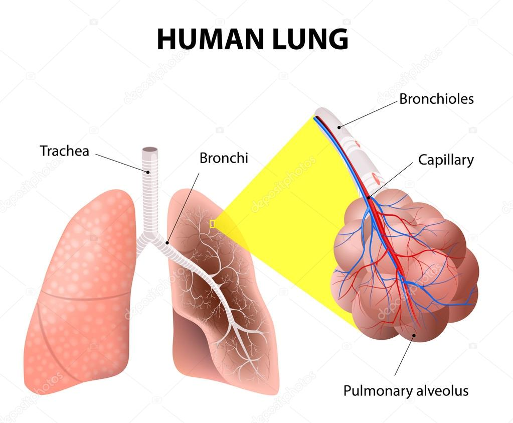 Structure Of The Human Lungs Human Anatomy Stock Vector