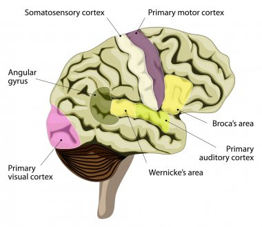 The human brain. Cortical representation of speech and language