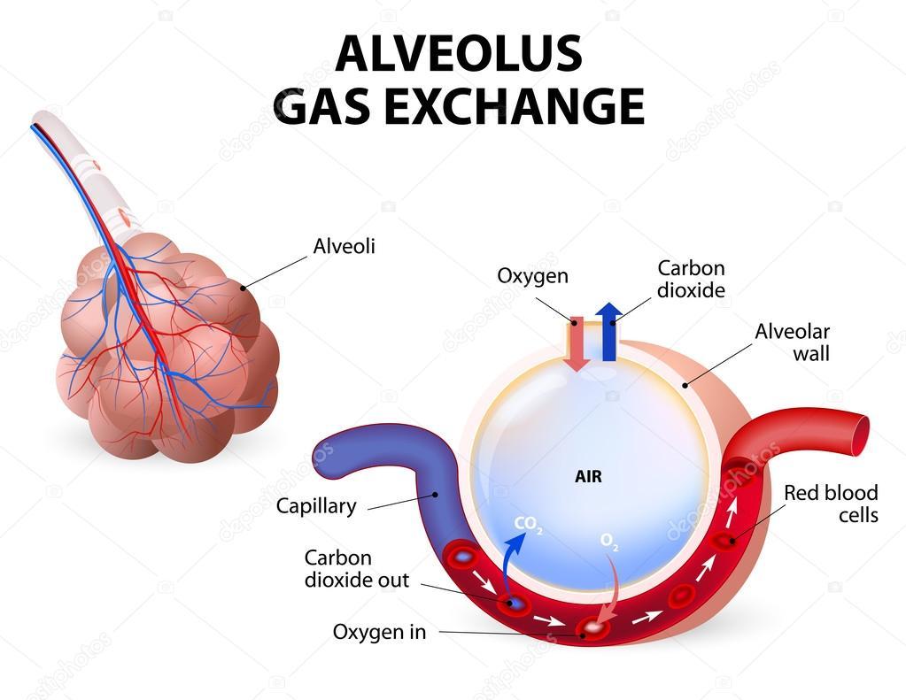 Alvéolo. intercambio de gases — Archivo Imágenes Vectoriales ...