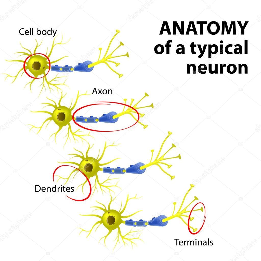 Anatomie eines typischen Neurons — Stockvektor © edesignua #68956097