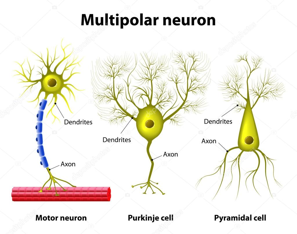 Types Of a multipolar Neurons — Stock Vector © edesignua #69009163