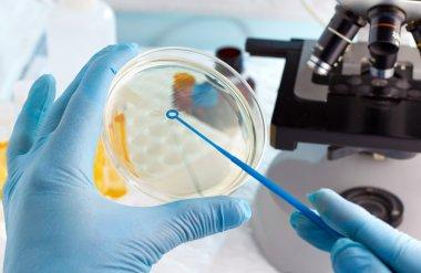 Lab technician hand planting a petri dish