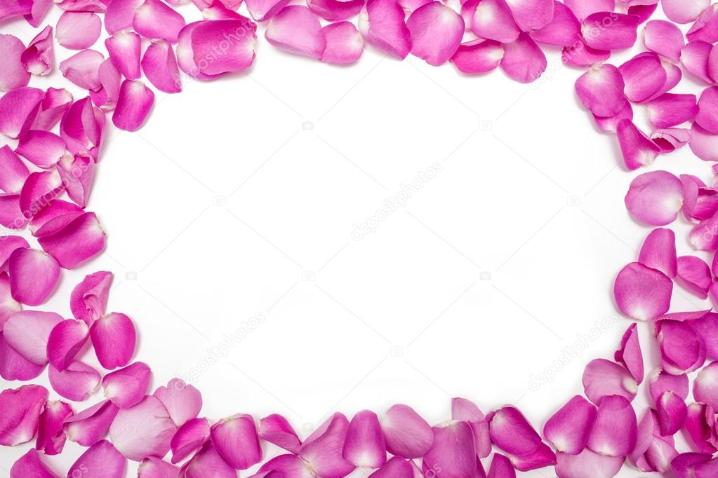 Dark pink petal rose flower isolated on white close up