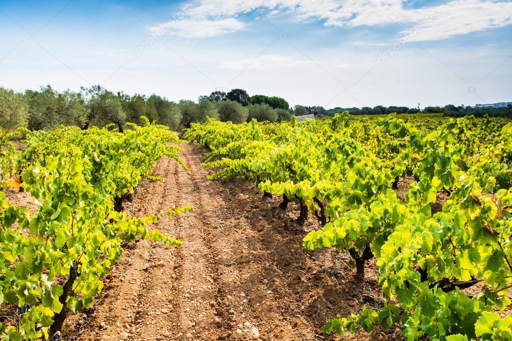 Ripe vineyard