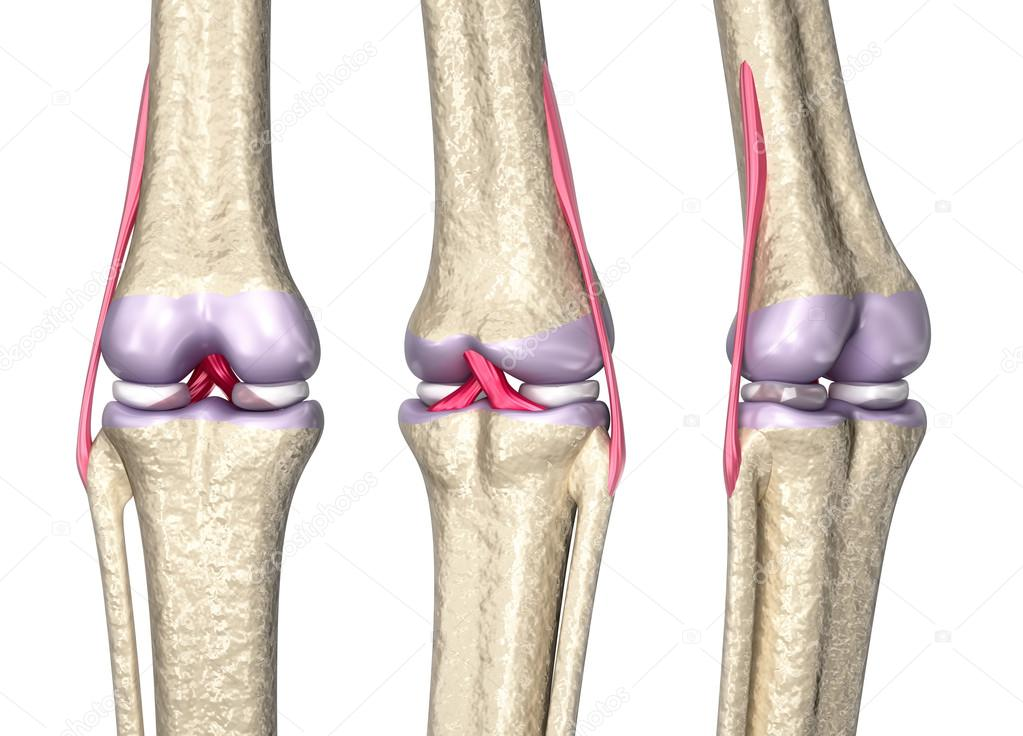 Knee joint anatomy, 3D model — Stock Photo © Alexmit #74113129