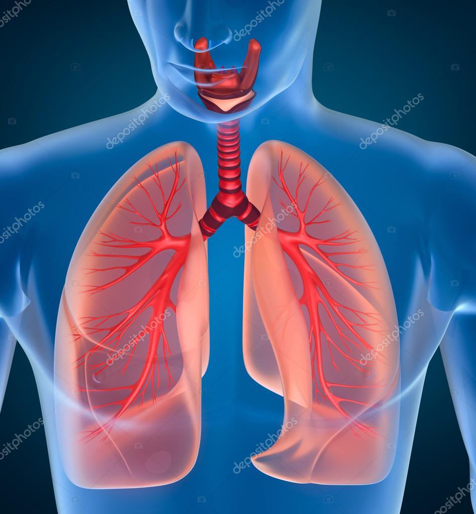 Anatomy Of Human Respiratory System Stock Photo Alexmit 75146911