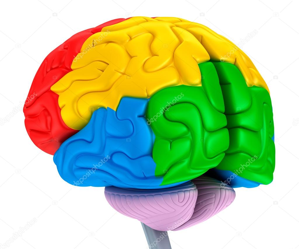 Brain lobes in different colors. Isolated on white. — Stock Photo ...