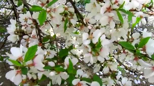 Cherry blossom and wind with petals fall