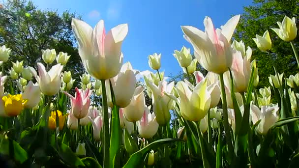 Tulipánů květiny, příroda