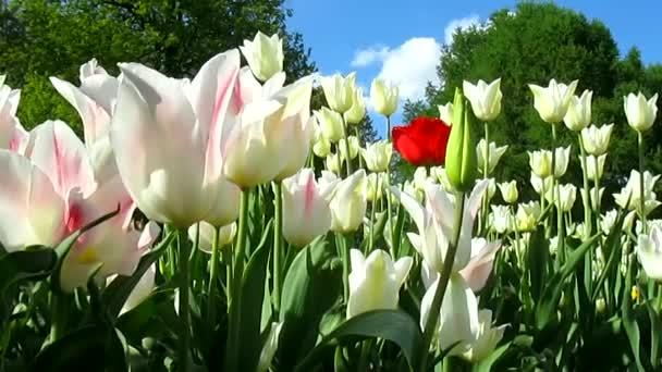 Květiny tulipány a vítr