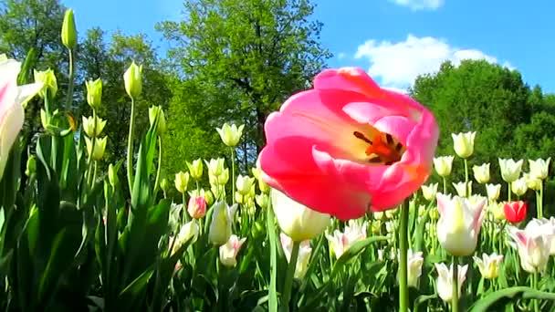 Růžová Tulipán na vítr a letícího ptáka
