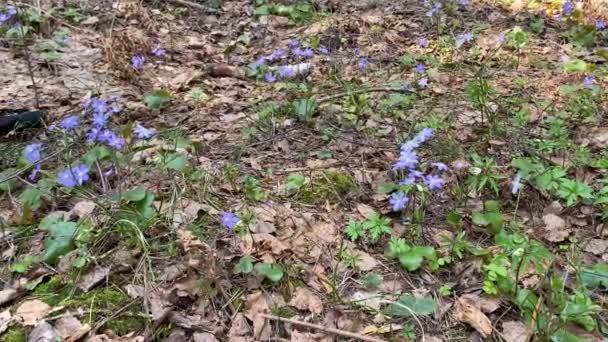 Mladá krásná dívka v černém oblečení trhá první jarní květy fialové barvy v lese, což z nich slavnostní dárek kytice. Mayflower modré květy v jehličnatém lese v Evropě 4k
