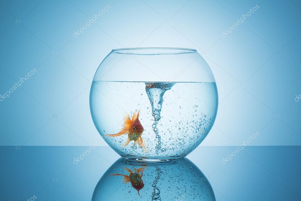 goldfish with a swirl in a fishbowl