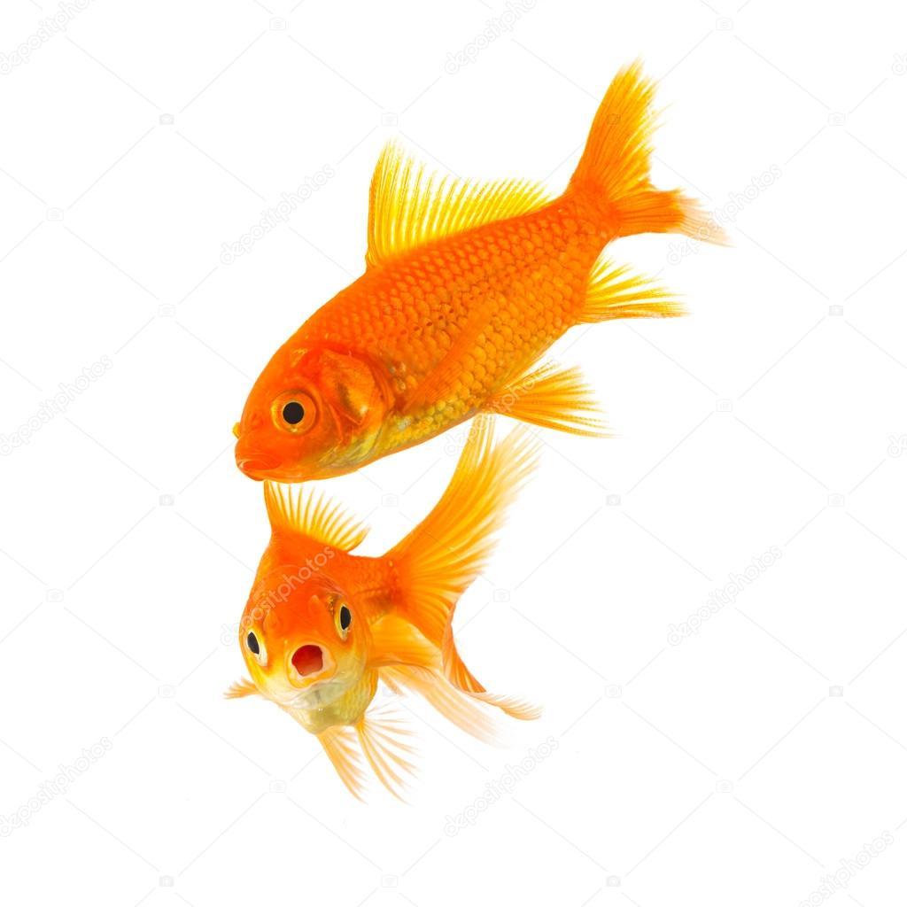 shocked goldfish couple