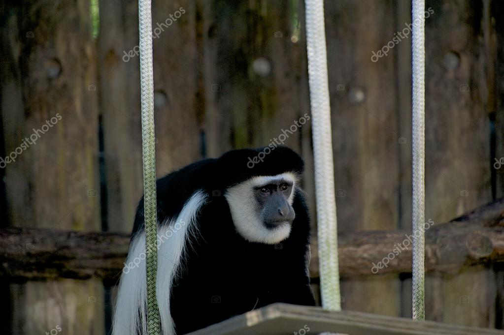 dc515071ab macaco no zoológico de Nova orleans — Fotografias de Stock © Mnapoli ...