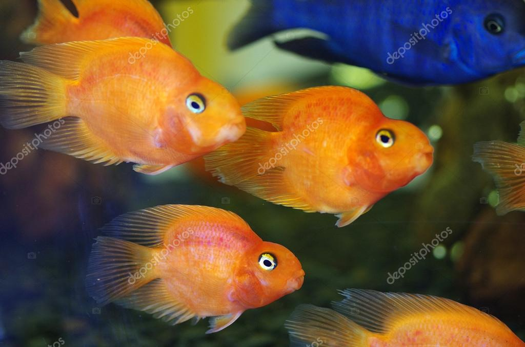 blood red parrot cichlid aquarium fish stock photo sinat 87657516