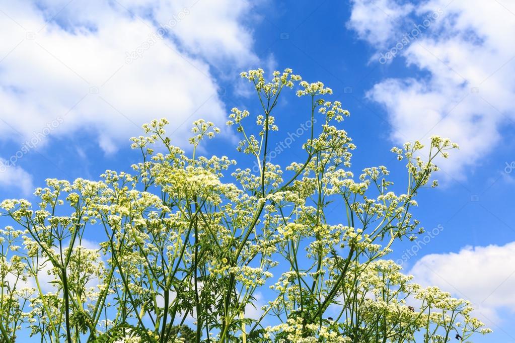 Weiße Unkraut Blumen mit blauen bewölkten Himmel Hintergrund ...