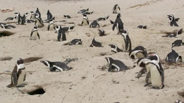 African penguin Spheniscus demersus also known as the jackass penguin and black-footed penguin. South Africa.