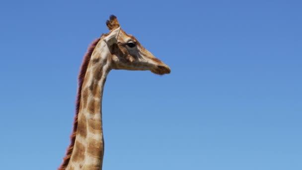 Zblízka záběry divoké žirafy, africké žirafy.