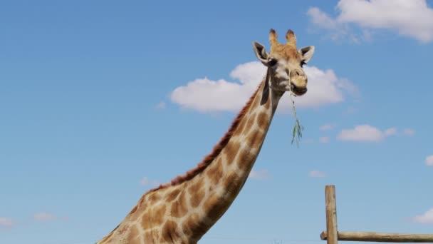 Žirafa žvýká trávu. Zvláštní žirafa na pozadí oblohy.