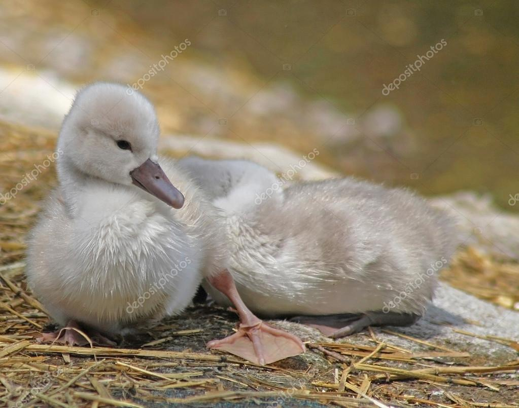 Baby Mute Swan resting and sunning on dry land while his sibling sleeps soundly behind him
