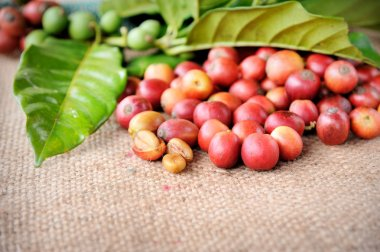 Fresh raw coffee beans