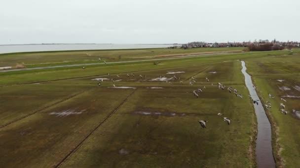 Ein Schwarm Gänse fliegt im Frühjahr über die Felder in Nordholland. Drohnenschuss