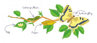 The metamorphosis of the butterfly. Life cycle