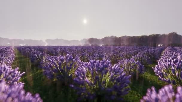 Levandulová květina kvetoucí v nekonečných řadách pod deštěm. Selektivní zaměření na keře levandulově fialových aromatických květů na levandulových polích. Vysoce kvalitní filmové záběry.