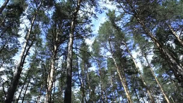 Coniferous pine forest