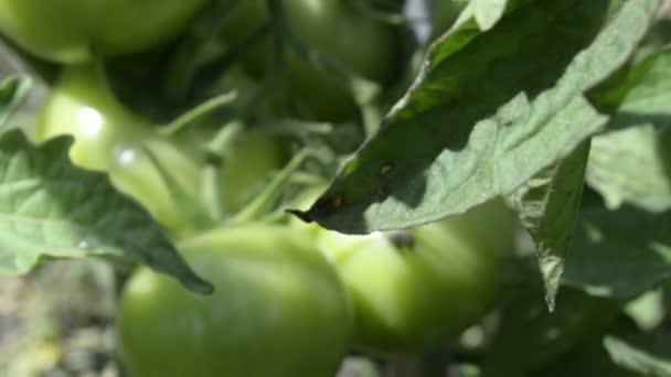 zelených rajčatαυτοκινήτου ανάλυση και ελαστικών αλλαγή