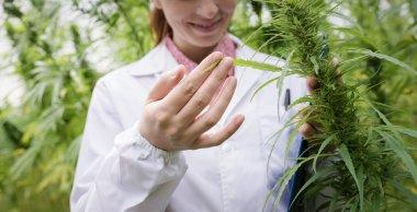 scientist in a hemp field checking plants