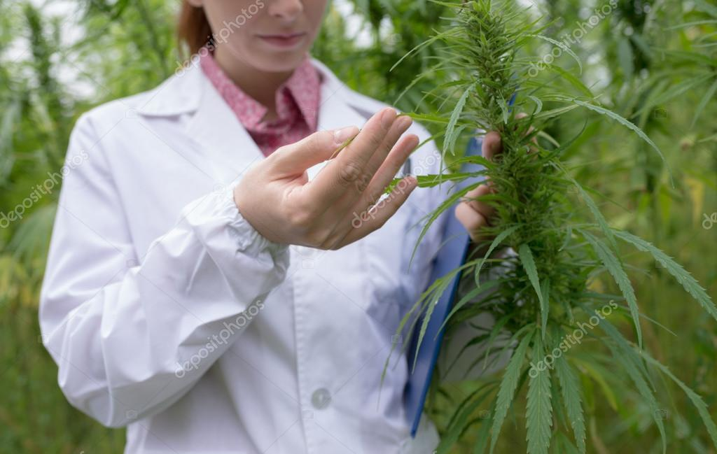 Doctor checking cannabis flowers