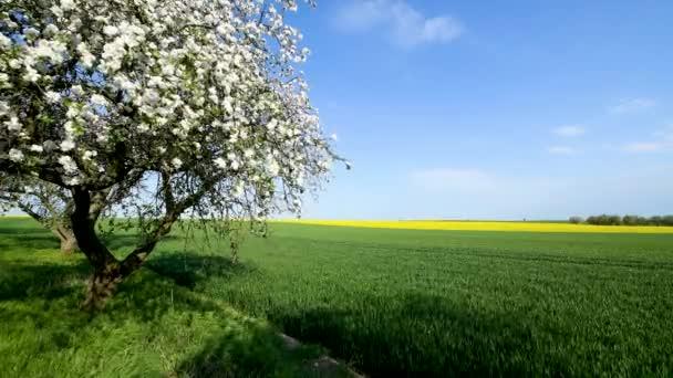 Gyönyörű tavaszi nap egy cseresznyéskertben
