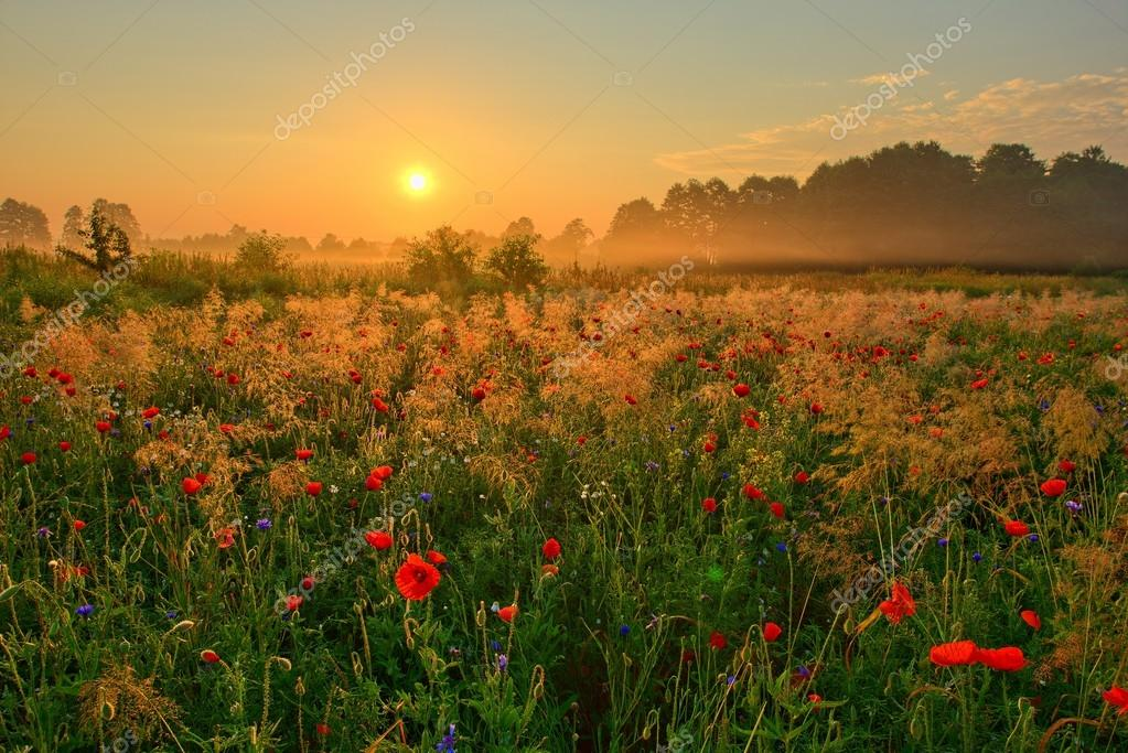 Summer  poppy field