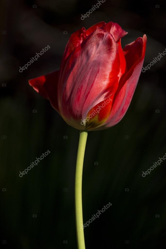 Single red tulip. One flower