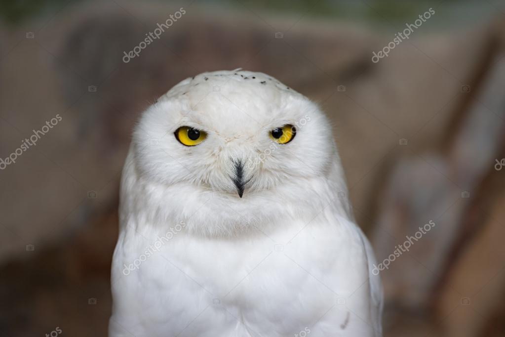 Snowy owl in Antwerp Zoo, Belgium
