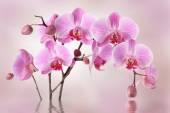 růžové orchideje květiny