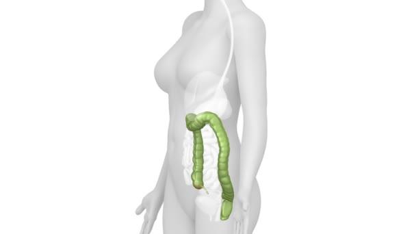 weibliche Anatomie der Doppelpunkt — Stockvideo © CLIPAREA #52172691