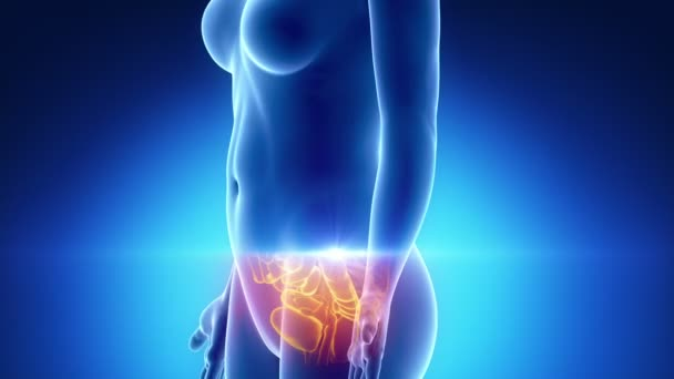 anatomie ženské břicho