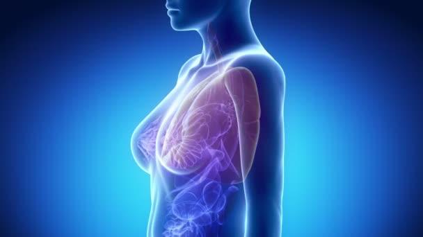 weibliche Thorax Anatomie — Stockvideo © CLIPAREA #54281573